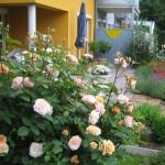 Róże angielskie w ogrodzie