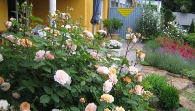 róża angielska Charming apriocot (Charles Austin)