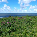 róża pomarszczona – rośnie nawet na plaży