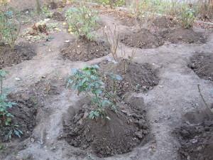 sadzenie róż iokrycie