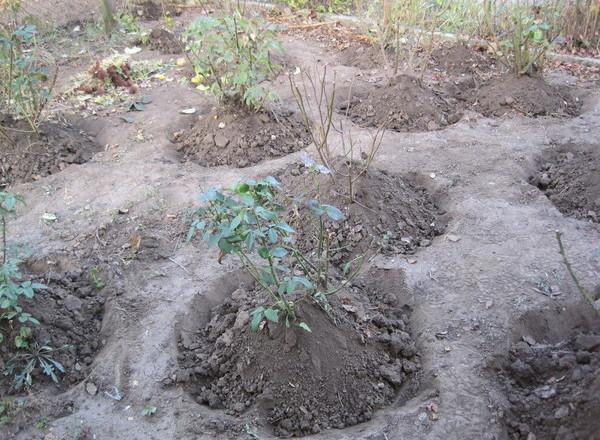 sadzenie róż i okrycie