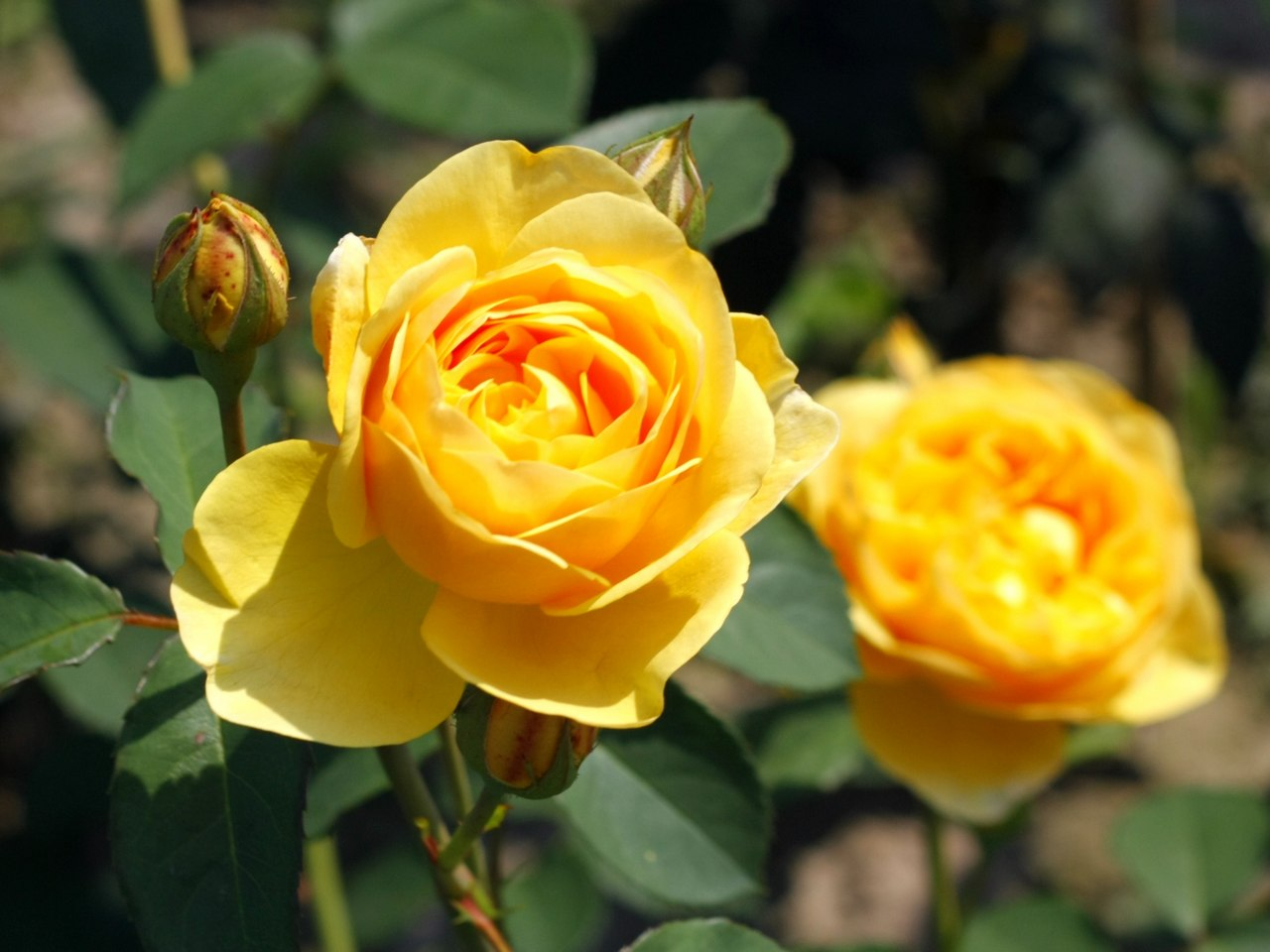 Symbolika I Znaczenie Kolorów Róż Blog Szkółka Róż Rozaria