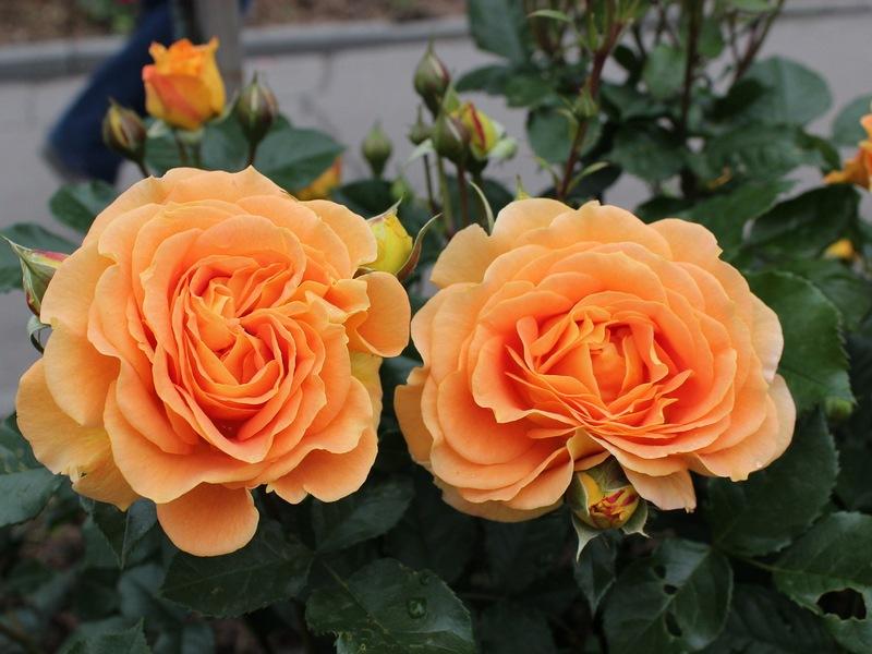 Roza Kwiat Najbardziej Pozadany I Uwielbiany Blog Rozaria Pl