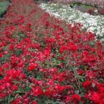 Róże – odmiany. Przegląd najpopularniejszych.