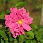 Róża dzika w nasadzeniach