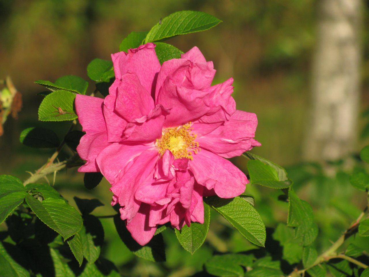roża dzika