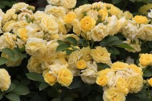 piękne róże 1