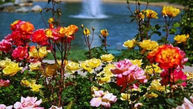 piękne róże i woda