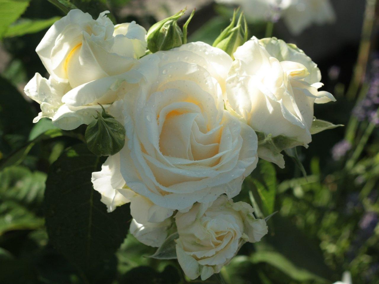 polska róża Chopin