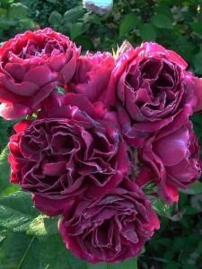 róże bezkolcowe Baron Girod de Lain