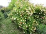 Róże bezkolcowe