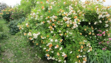 http://rozaria.pl/blog/wp-content/uploads/2015/09/Ghislaine-de-Feligonde-róże-bezkolcowe.jpg