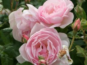 róże bezkolcowe Heritage