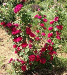 róże bezkolcowe Jamain