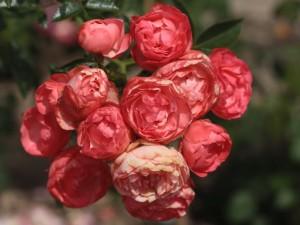 róże bezkolcowe Margo koster