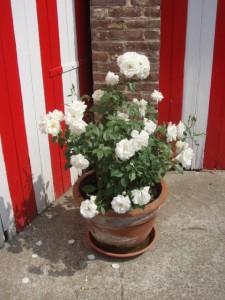 biała róża rabatowa wdonicy