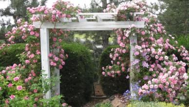 róże pnące pielęgnacja