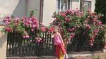 Różowe róże w naszych ogrodach