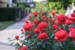 Róże królowe ogrodów