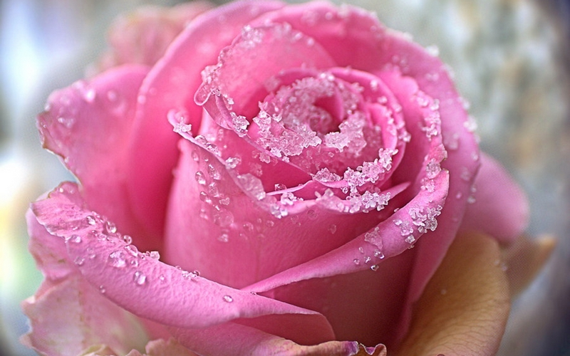 różane kulinaria słodka cukrowa róża