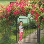 Zastosowanie róż pnących
