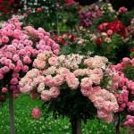Jak wkomponować w nasz krajobraz róże pienne