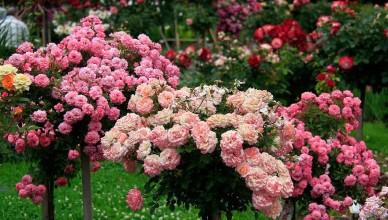 Jak wkomponować w krajobraz róże pienne