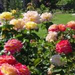 Róże wielkokwiatowe – bogactwo zapachu i kolorów