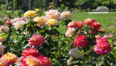 Róże wielkokwiatowe - bogactwo zapachów i kolorów
