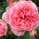 Termin kwitnienia róż
