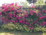 Żywopłoty z róż