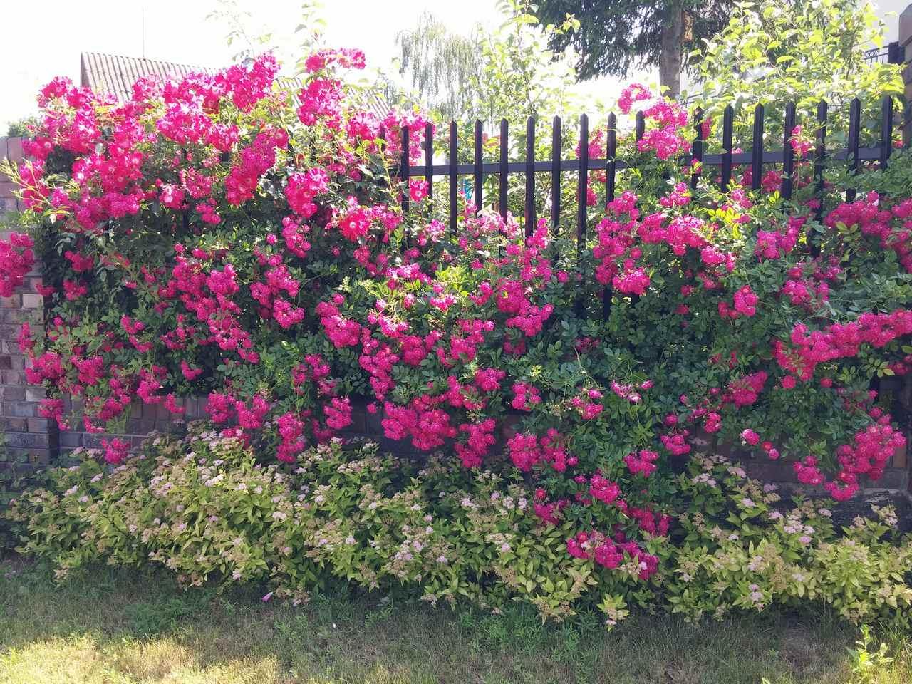 róże pnące super excelsa