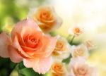 Róża, królowa lata