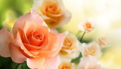 róża królowa lata