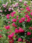 Hansa rugosa- ozdoba ogrodu prosto zHiszpanii
