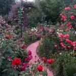 Róże pnące, czyli jak zmienić płot w dzieło sztuki