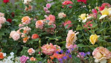 dzikie róże w ogrodzie