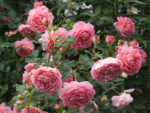 Róża stulistna- kwiat francuskiej urody