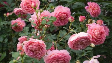 róże stulistne