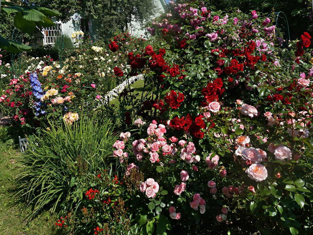 róża stulistna w ogrodzie