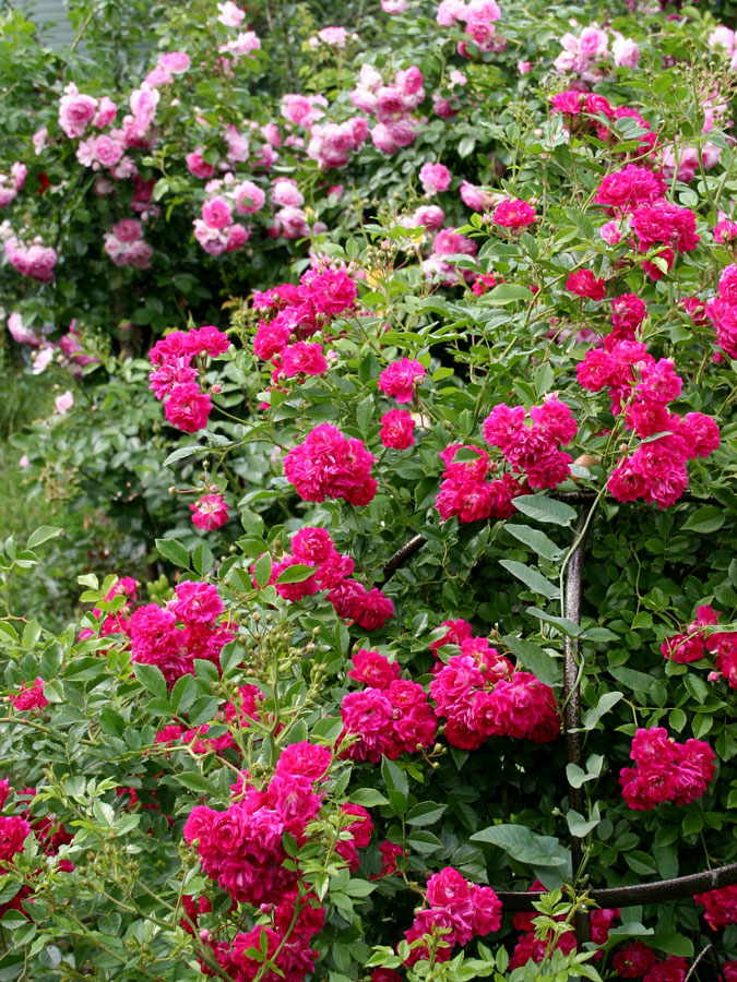 uprawa róży stulistnej