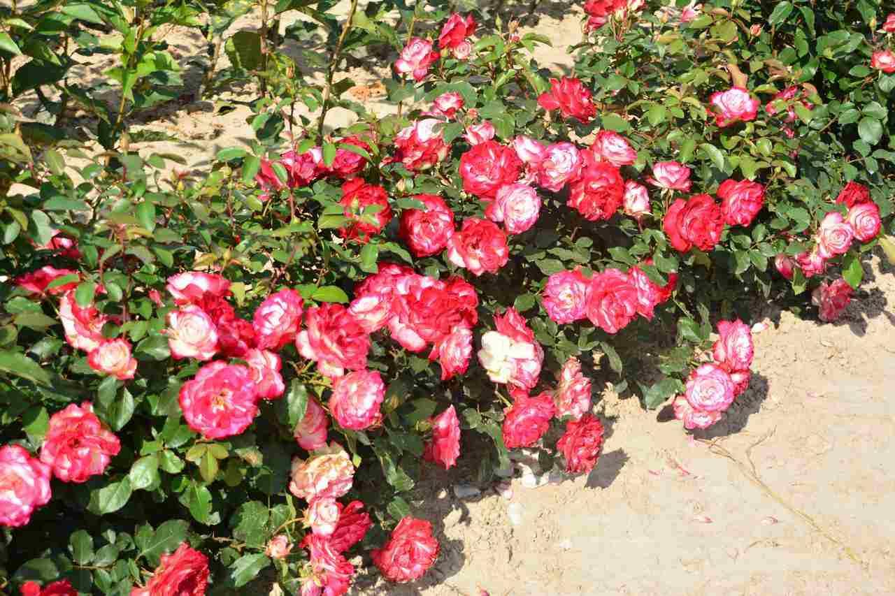 Róże miniaturowe okrywowe – najlepsze możliwe połączenie?
