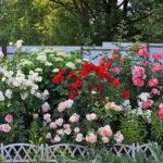 Rosa rugosa- stare kwiaty w nowym wydaniu
