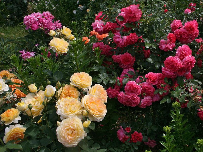 najlepsze róże konfiturowe