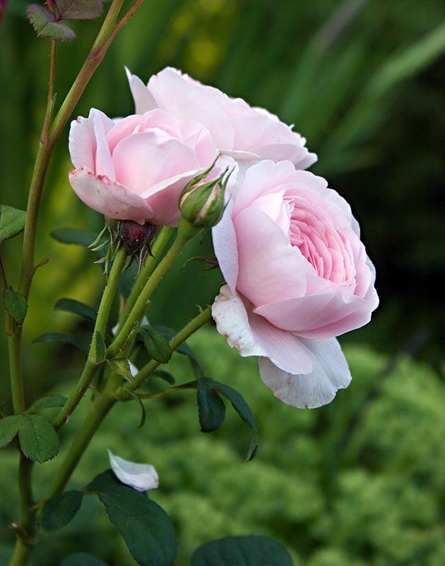 róża konfiturowa