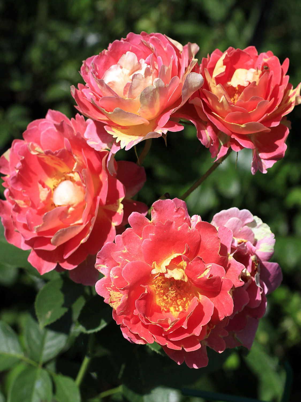 Róża konfiturowa, czyli smak prosto zogrodu