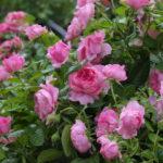 Róże nieustająco kwitnące – marzenie każdego ogrodnika