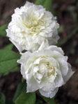 Biała róża – symbol, czymoże coś więcej?