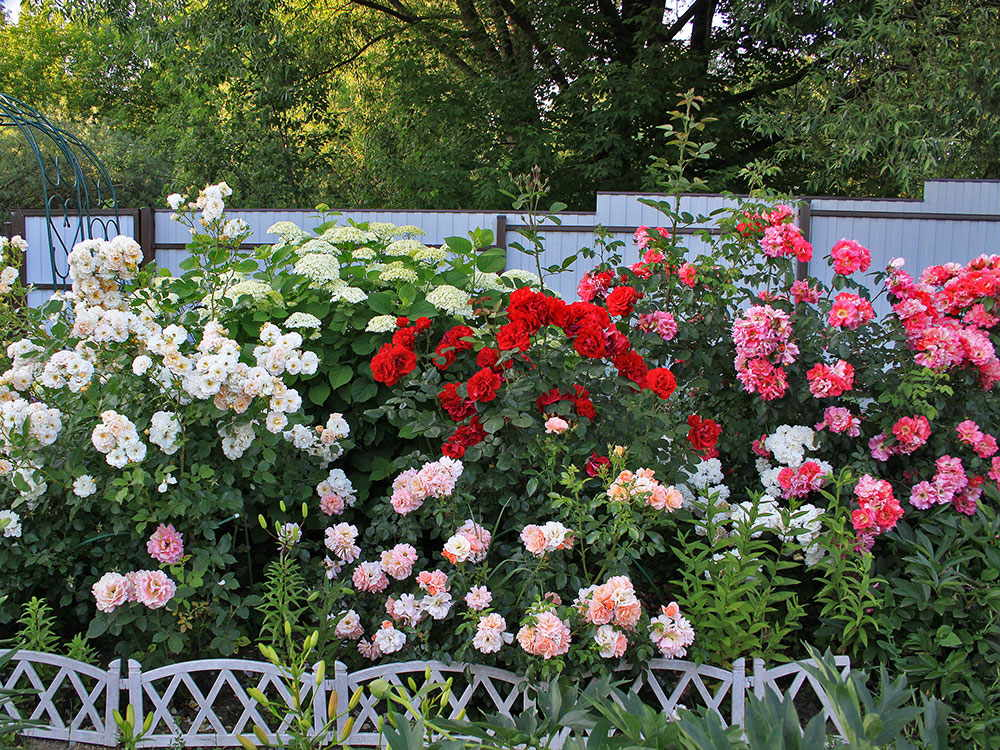 róże krzaczaste w ogrodzie