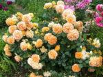 Róże parkowe – dwa metry różnorodności nie tylko w ogrodzie